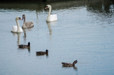 Swan's and ducks on water