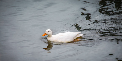 White Duck at Battlesbridge
