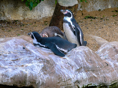 Penguins at Colchester zoo