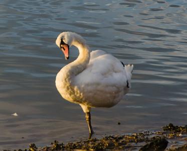 Swan's Imatation of a Flamingo
