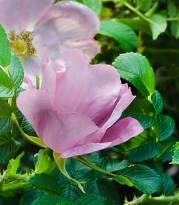 Pink Rose's