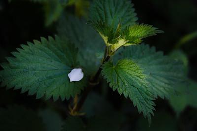 White Pettle On A Nettle Leaf